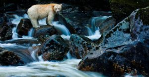 Spirit Bear (kermode bear) standing on rocks above a swiftly flowing stream, waiting for fish
